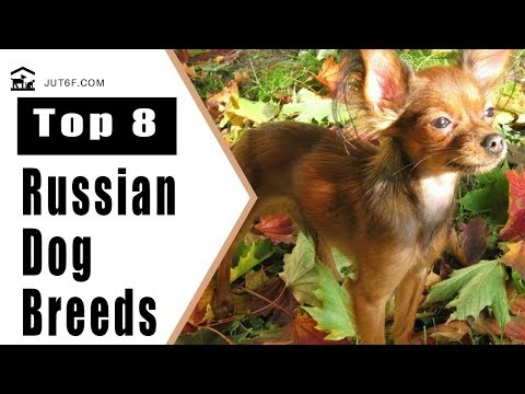 Top 8 Russian Dog Breeds