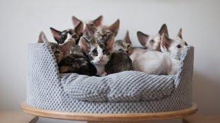 Kotki  Devon Rex (CUTEST kittens EVER)