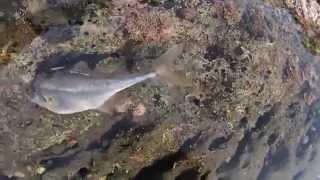 磯遊び♪ 潮だまりに残った魚達・・・ 南房総 Playing at rocky shores♪ Fish left to the tide pool.