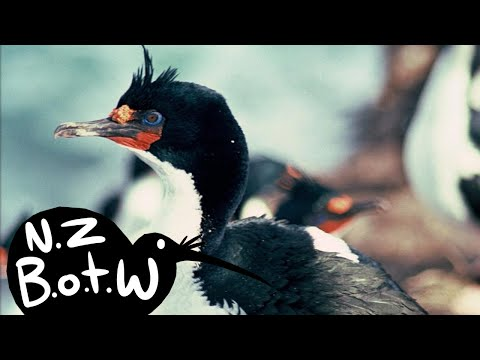 Chatham Island Shag - New Zealand Bird Of The Week