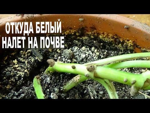 А знаете ли вы почему появляется белый налет в цветочных горшках