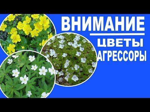Цветущие растения, которые могут засорить ваши цветники. 17 растений с фотографиями и пояснениями