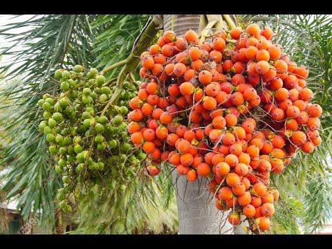 Beetle Nut / Arecanut / Adike / Supari Harvesting