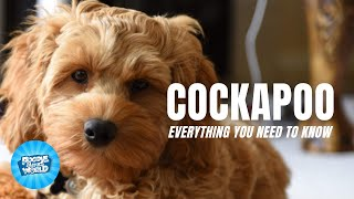 Cockapoo Dog Breed Information  Can These Dogs Entertain | Cockapoo Dogs 101