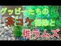 【アクアリウム】グッピー水槽 グッピーたちの茶コケ掃除と稚ラムズ