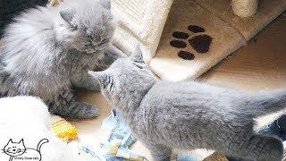Британские котята смотреть онлайн. Питомник Silvery Snow.