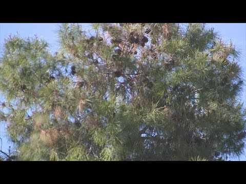 VIDEO: Agencies looking into what's causing trees to look half-dead