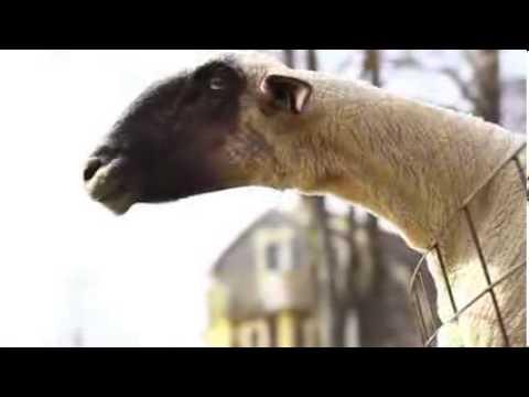 insan gibi bagıran keçiler.....  KESİNLİKLE İZLE.  Keçiler keçileri kaçırmış olmalı :)
