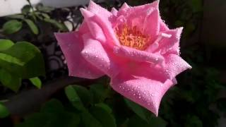 HYBRID TEA ROSES: collection of pretty roses