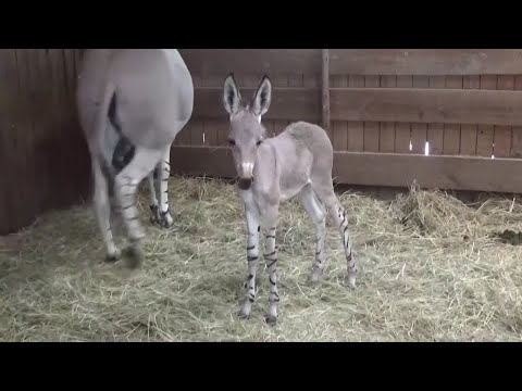 Birth of African wild donkeys brings joy to Chile zoo