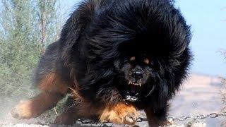 Sahibini En İyi Koruyan En Sağlam Koruma Köpekleri ( Türkçe Seslendirme ) Bölüm #2