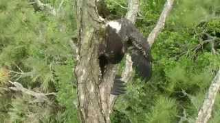 NEFL bonding, fish delivery, the flee and mantle to a branch with the fish 3-24-14