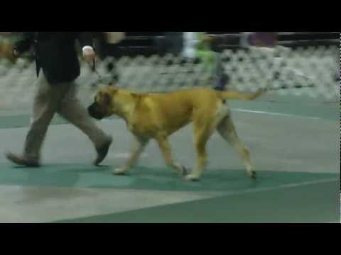 Huntington, WV Dog Show Mastiffs