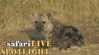 safariLIVE puts a spotlight on the spotted hyena! thumbnail