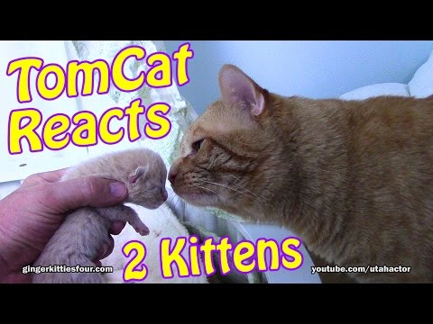 Ginger Tom Cat Reacts to his #Newborn #Kittens!