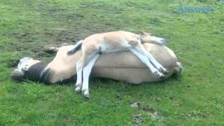 This Adorable Little Foal Didn't Feel Like Sleeping On the Ground, So He Found a Much Comfier Place