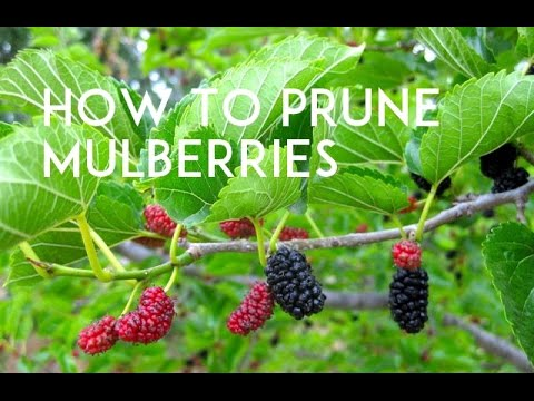 Keeping Your Mulberry Tree Small Youtube