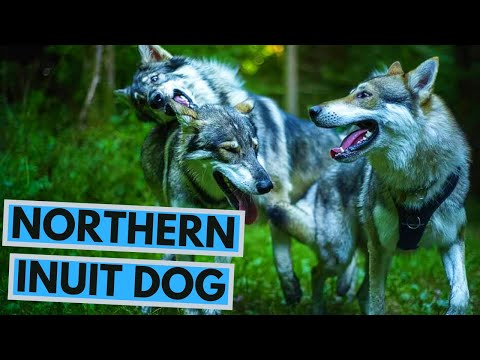 Northern Inuit Dog - Facts And Information