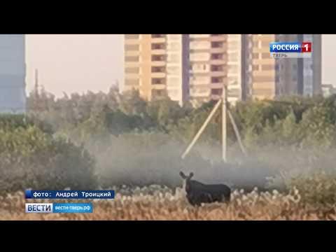 В Твери в Заволжском районе гулял лось