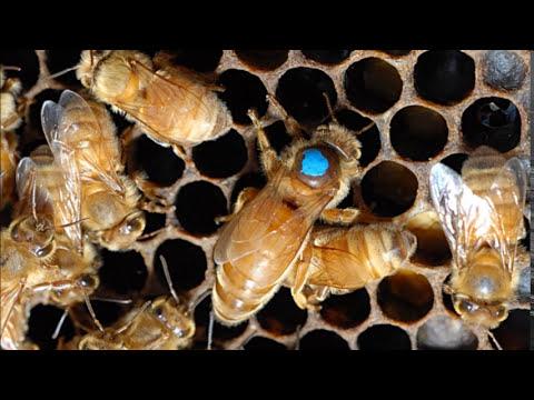 Dogon Kanaga , X Chromosome , Bee Goddess Cosmology & Merkaba 2
