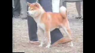 平成元年10月22日撮影 紀州犬、柴犬、 黒毛の四国犬も登場。