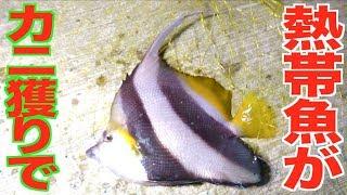 高級カニ獲りに行ったらまさかのデッカイ熱帯魚が・・・