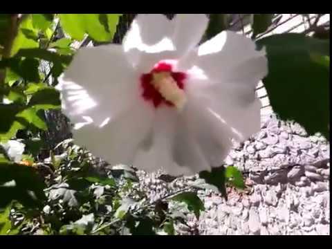 Цветок белый гибискус