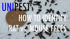 How to Identify Rat vs. Mouse Feces (Unipest DIY Pest Control in Santa Clarita Series)