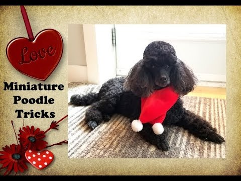 Miniature Poodle Tricks - Dog Training - DMWYD Expert Title