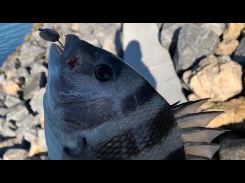 Sheepshead Fishing At Skyway