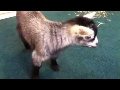 Baby Pygmy Goat Sounds