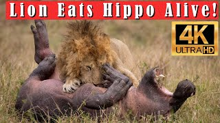 Male Lion Hunts and Kills Hippo During the Great Migration in the Mara, Africa in 4k