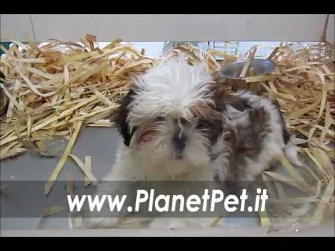 Shih-tzu www.PlanetPet.it