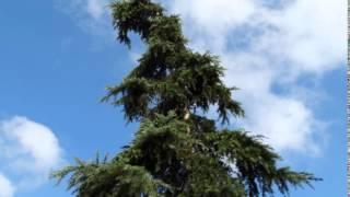 Ağaç Falı, Aslan Burcu, Sedir ağacı, Burçlarımız