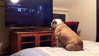 Собака, которая смотрит телевизор