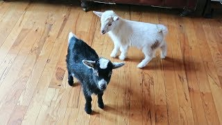 baby-goat-hilarious-reaction-to-a-new-baby-goat