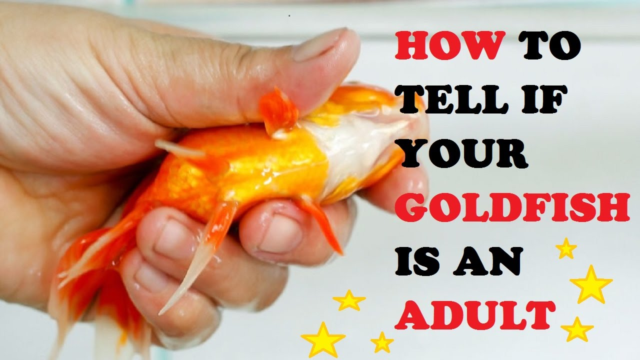 How to Know when Your Goldfish Is Dying