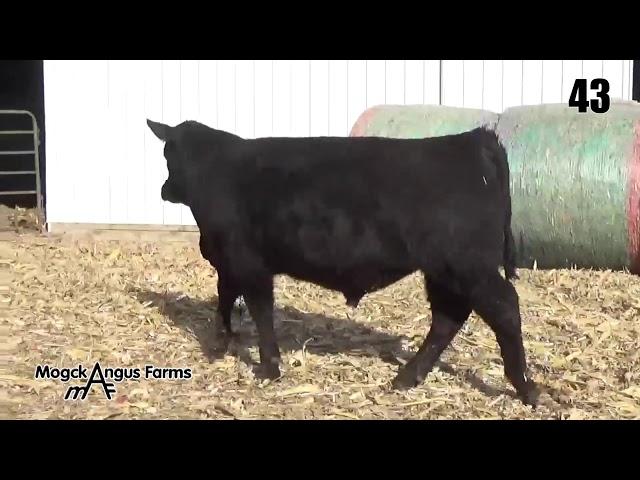 Mogck Angus Farms Lot 43