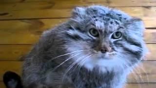 Ну очень страшная кошка! Kisa Smile Прикольные фото и видео с кошками