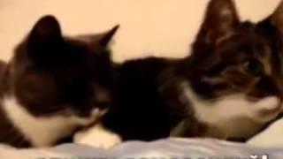 Приколы с кошками Кошачий секс игры. Приколы с Кошками