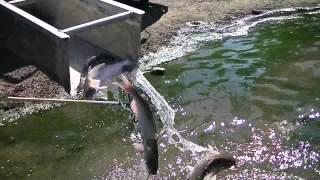 Catfish Stocking, Anaheim And Corona Lake 10/4/12 \