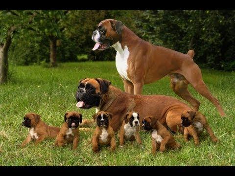 Боксер. Породы собак