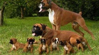 Боксер. Породы собак(Боксер - грациозная энергичная собака, боксер весьма привыкает к хозяевам, боксер любит детей. Боксер без..., 2013-07-28T09:06:04.000Z)