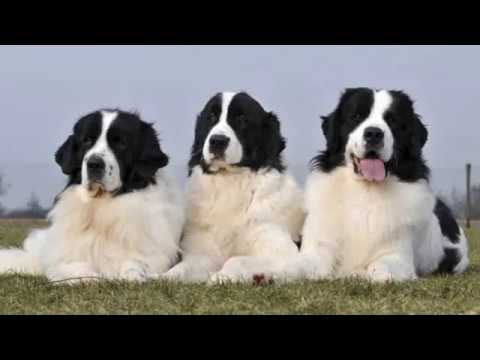 Landseer Newfoundland - large dog breed