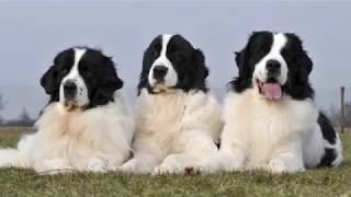 Landseer Newfoundland  large dog breed