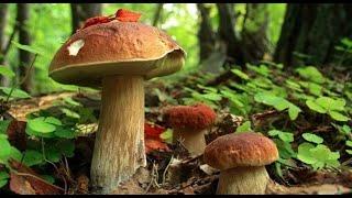 Збираємо білі гриби повсюди де можна.Грибомания