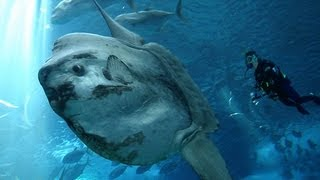 THE OCEAN SUNFISH: LARGEST BONY FISH