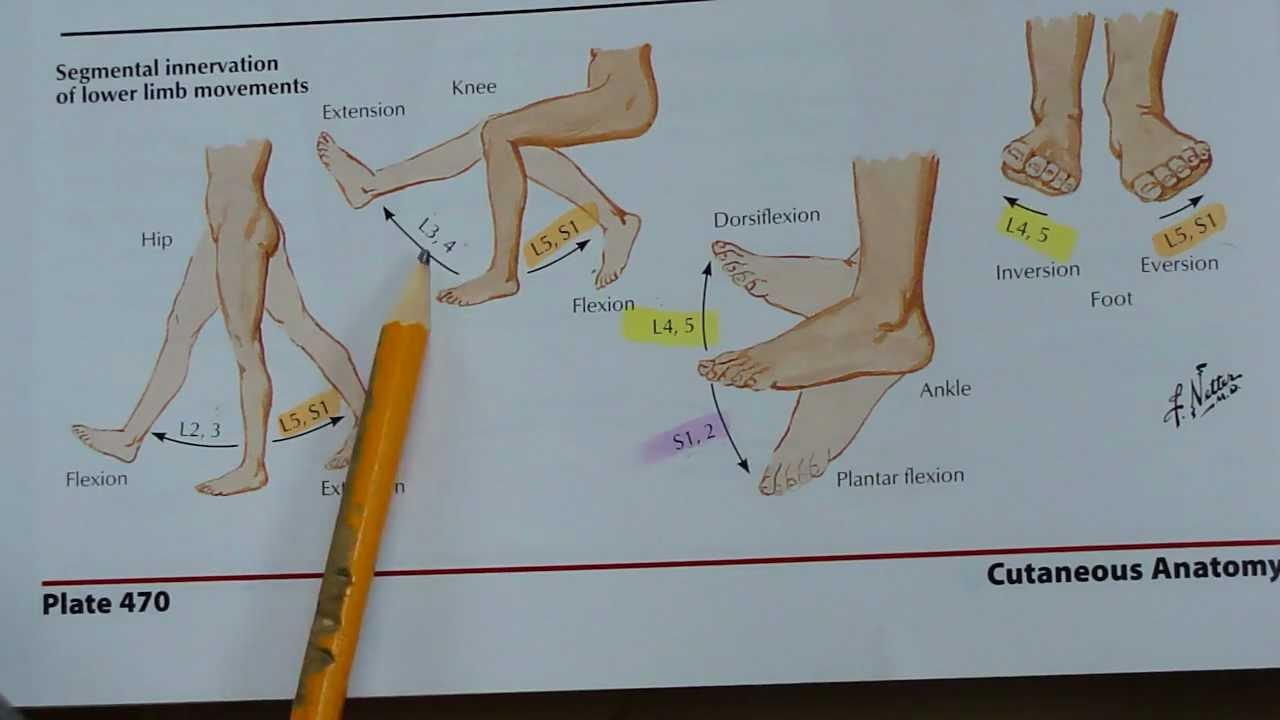 Segmental Innervation Of Lower Limb Movements