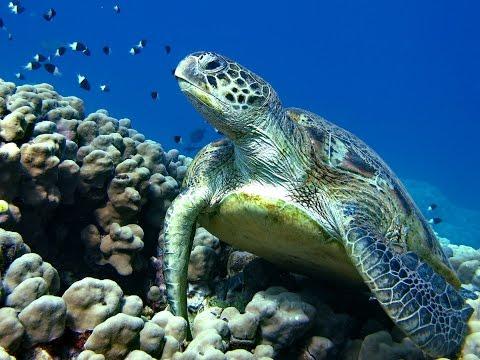 Зеленые черепахи Красного моря.