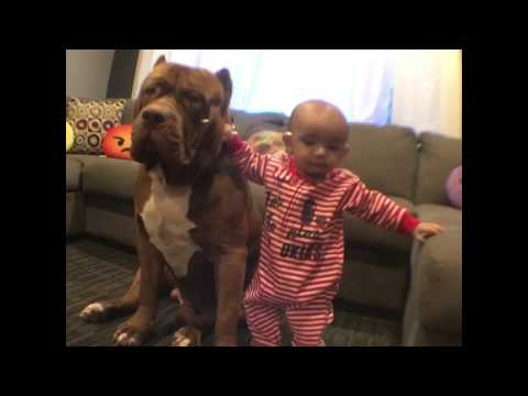 Giant pit bull 'The HULK' helping baby stand up